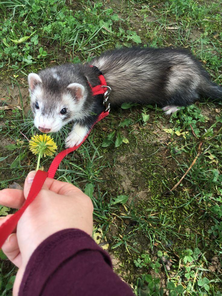 Beck Loves Ferretts Especially After Hearing If Mr Malfoy In Fourth Year Niedliche Tierbabys Exotische Haustiere Lustige Frettchen