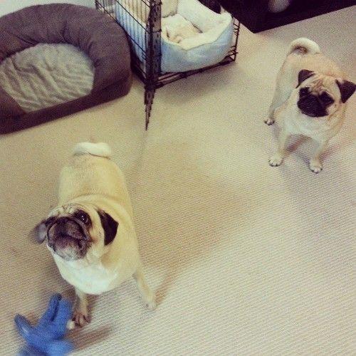 Last Night Sunny Was Acting Feisty And Kept Stealing Rosy S Toys I Secretly Enjoyed It Pugs