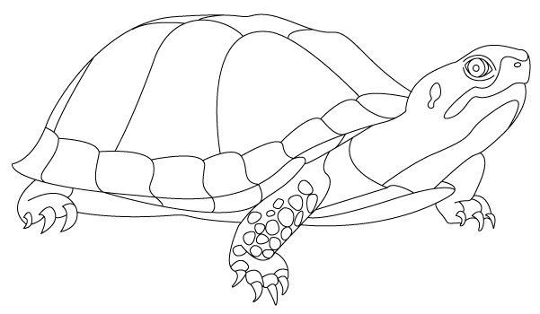 box turtle google search nature study pinterest box turtles