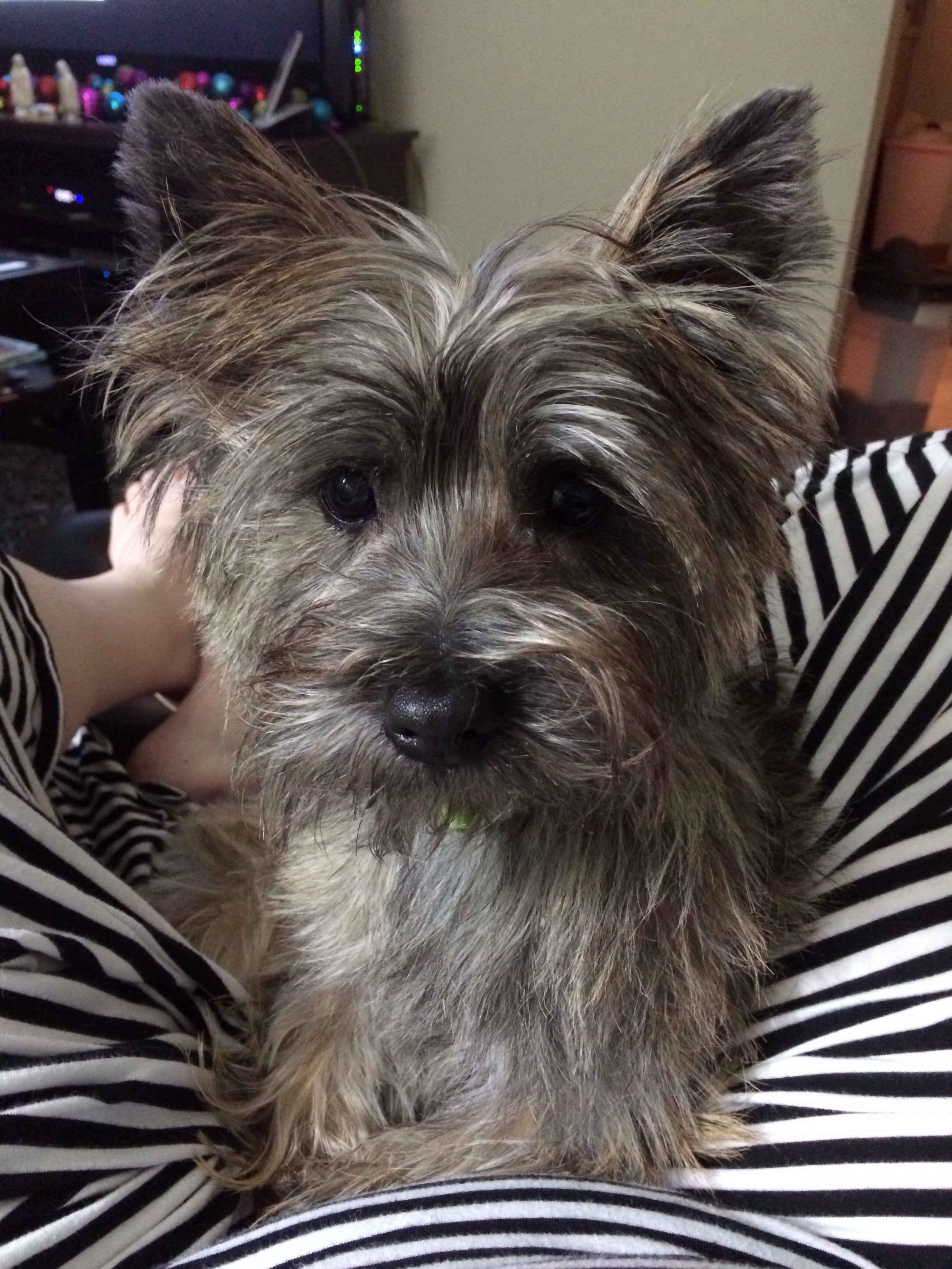 Cairn Terrier My Baby Oz Is So Cute Cairn Terrier Cute