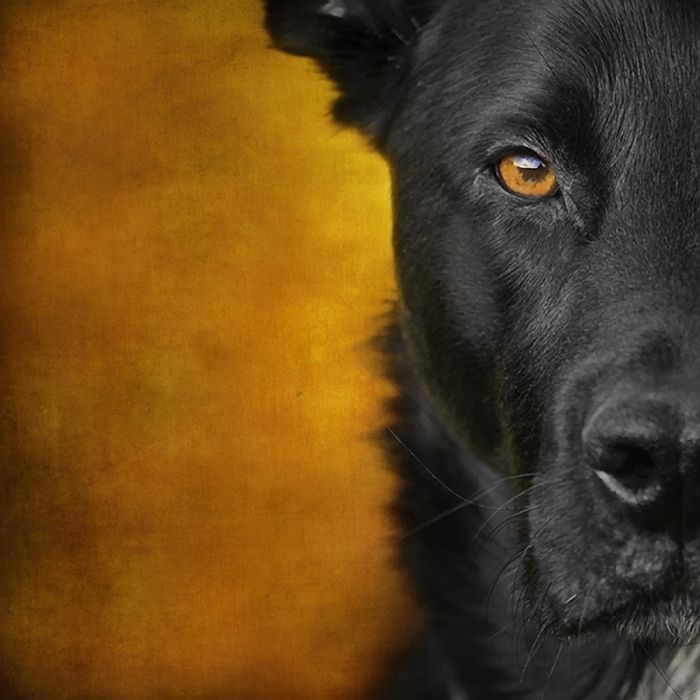 Half Face Portrait Of Black Dog With Textured Background C Wolf