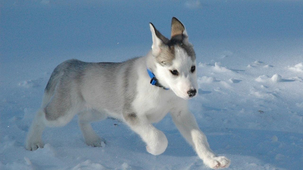 Sobaki Husky Puppy Siberian Husky Puppies Siberian Husky Dog