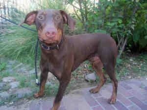 Tank Is An Adoptable Doberman Pinscher Dog In Los Angeles Ca