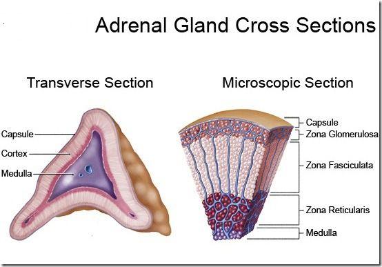 Anatomy Of Adrenal Gland Diagram - DIY Enthusiasts Wiring Diagrams •
