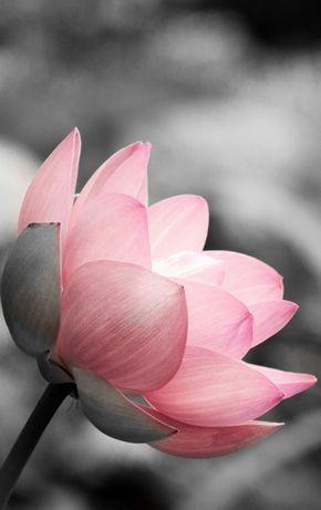 Lotus on Black and White