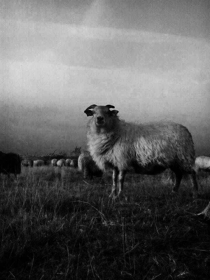 Gefotografeerd door Nina. Dit schaap komt uitvergroot in de woonkamer te hangen.