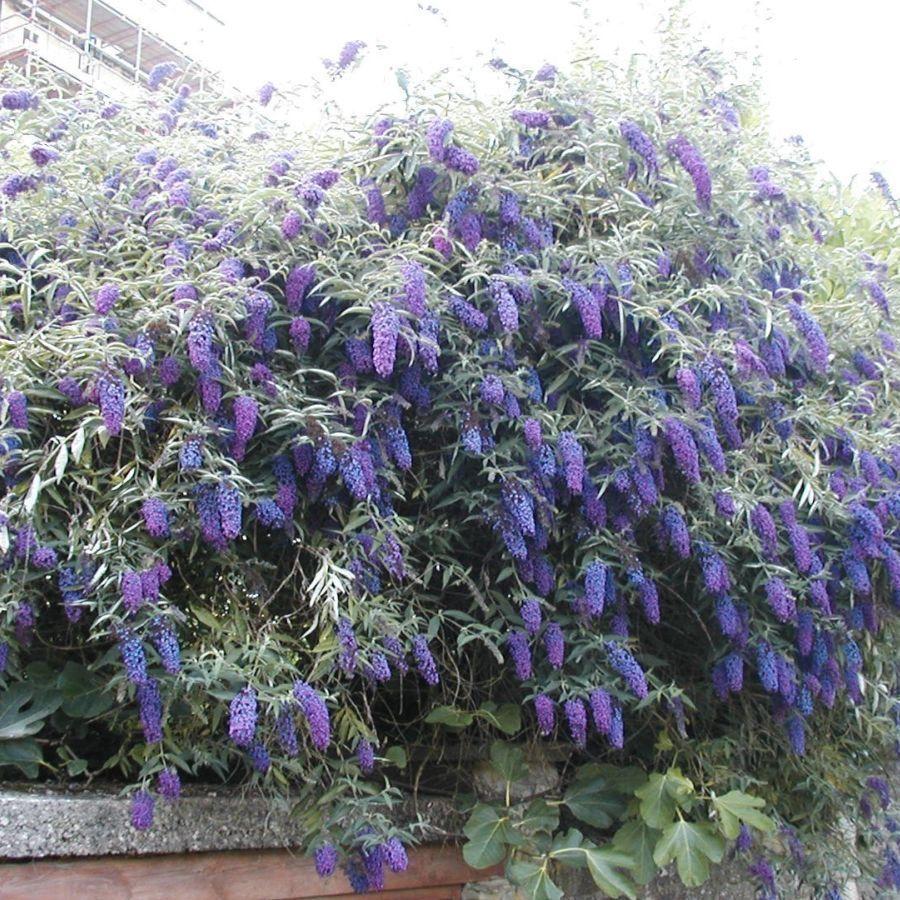 details about buddleja davidii empire blue buddleia butterfly bush plant in 9cm pot