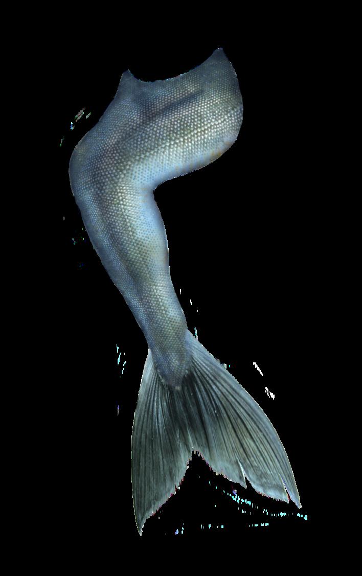 Mermaid Tail 05 By Deviantroze On Deviantart Mermaid Painting Mermaid Drawings Mermaid Art