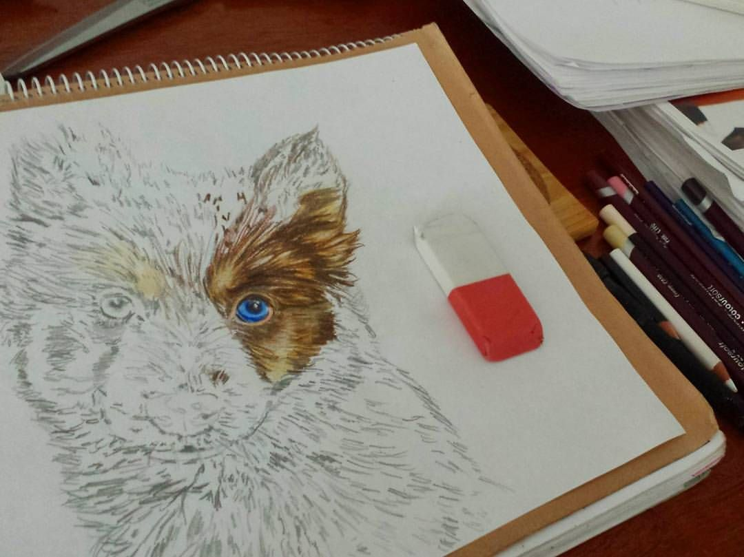 Just roaming trough pages thinkin what to draw next (just to expand my horizon) ☺ when i saw the most adorable creature @let_er_rip_  i had to let my hands do the talkin on paper...and yeah im known to have nothin but love for animals, specially dogs So here's a beginning.  #drawing w/ #prismacolor #forthelove of #dogs #colorfull #blueeyes #dogsofinstagram #pomsky #husky #minihusky #miniwolf #cutepetclub #doglover #animaladdict