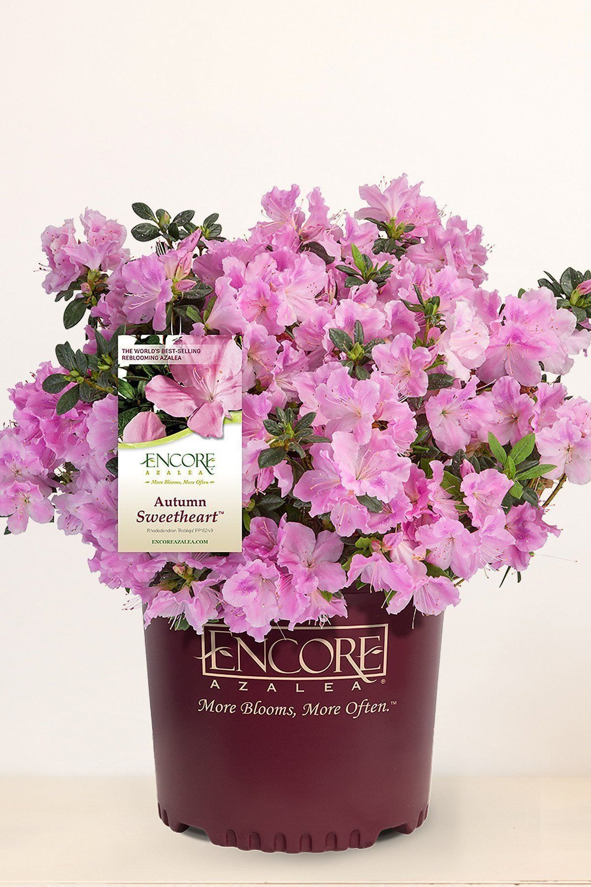 Buy Encore® Azalea Autumn Sweetheart at Root 98 Warehouse