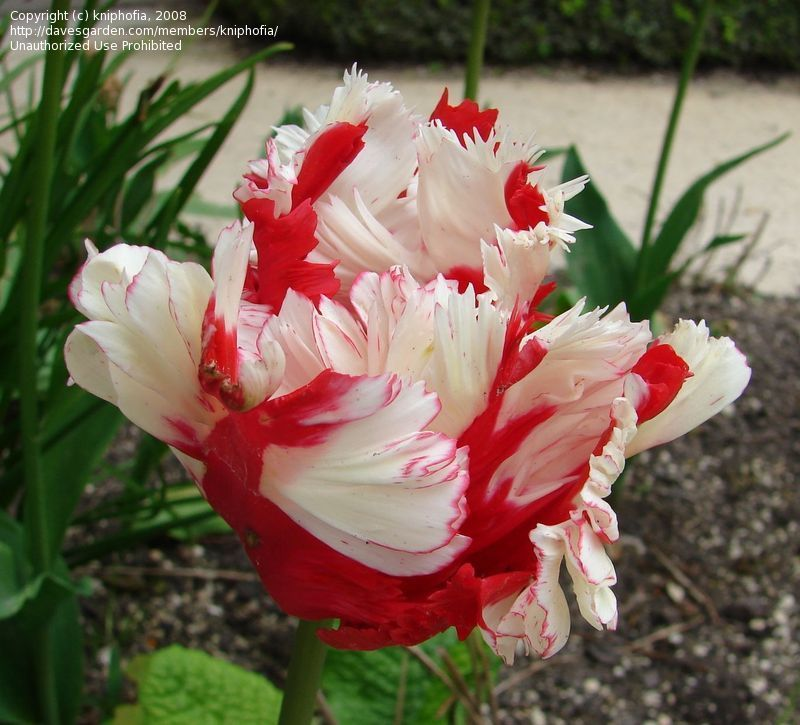 These Are Called Parrot Tulips They Are My Favorite Of All Of The Tulips Parrot Tulips Tulips Images Flowers