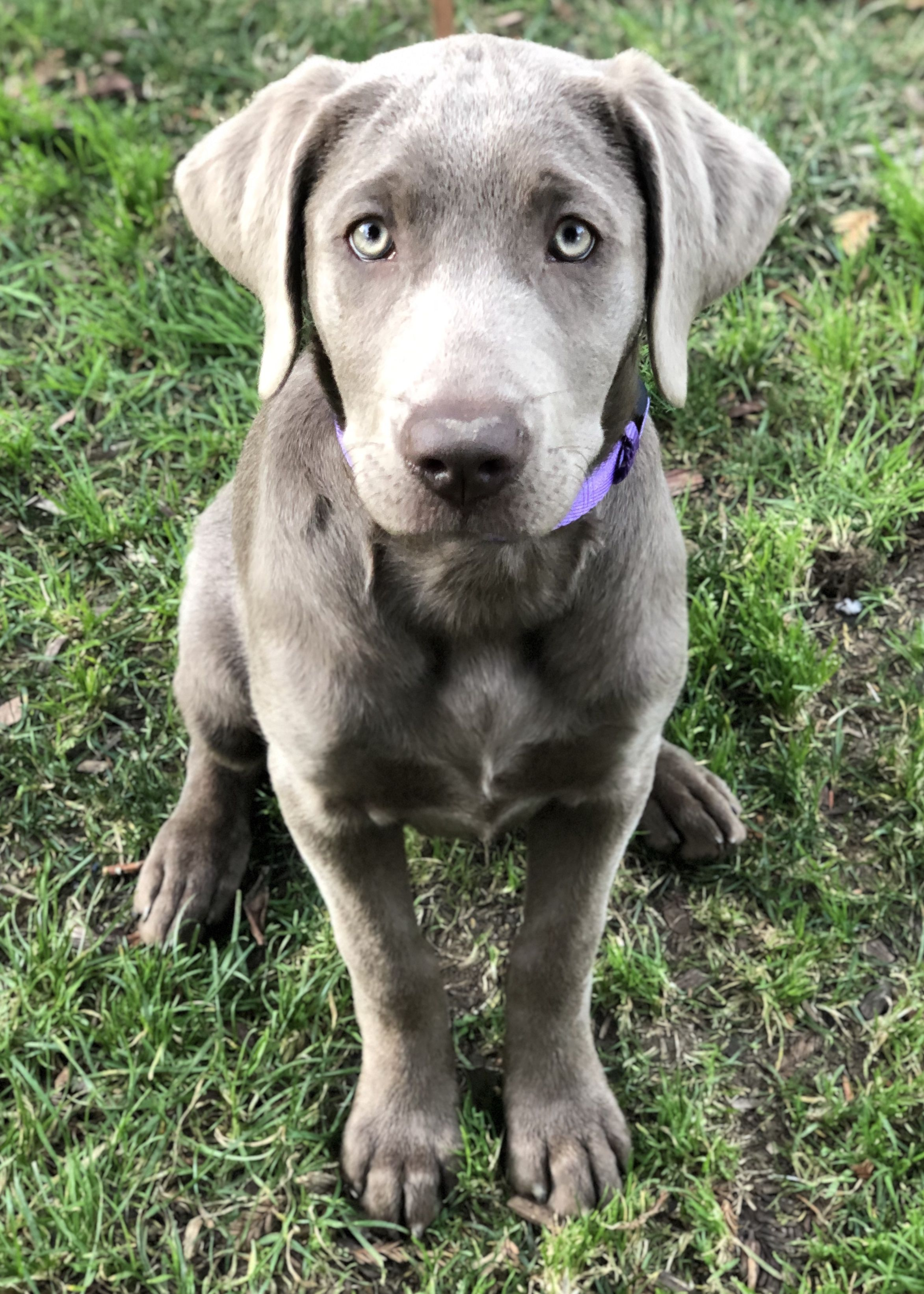 Silver Labrador Retriever Silver Lab Puppy Female Misty