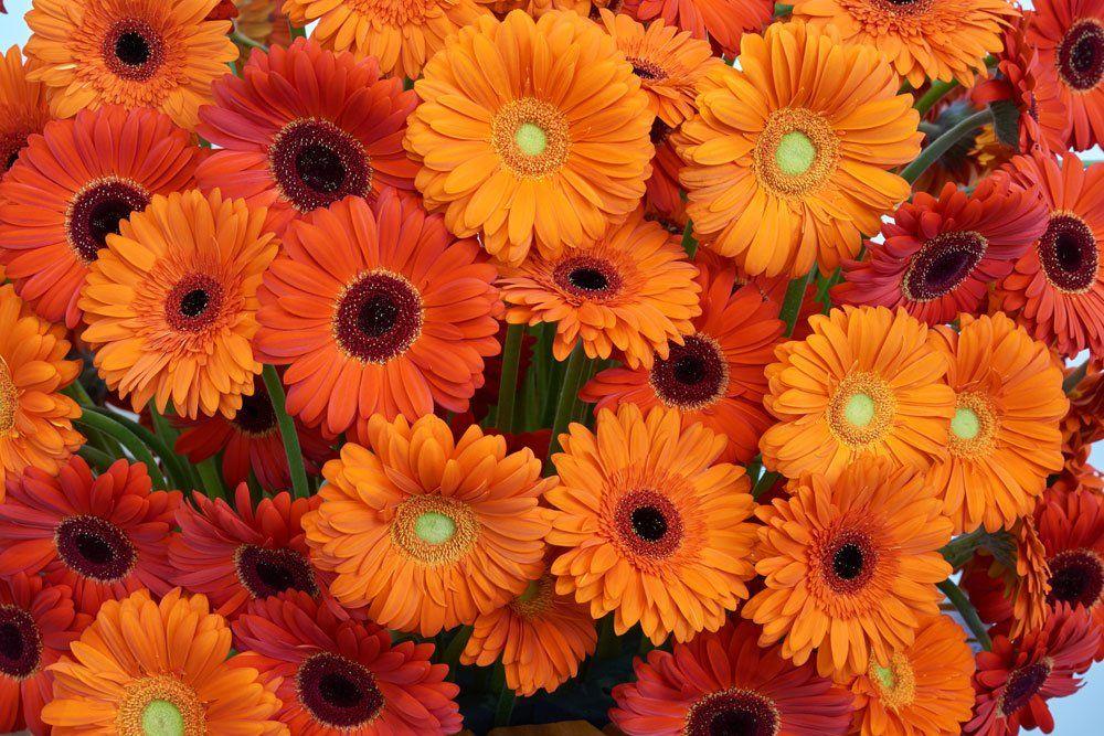 Gerbera Vermehren So Klappt S Per Teilung Aussaat Und Stecklingsvermehrung Gerbera Pflanzen Gerbera Blume