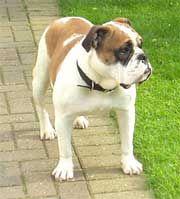 Victorian Bulldog Ken Mollett Bulldog Victorian Bulldog