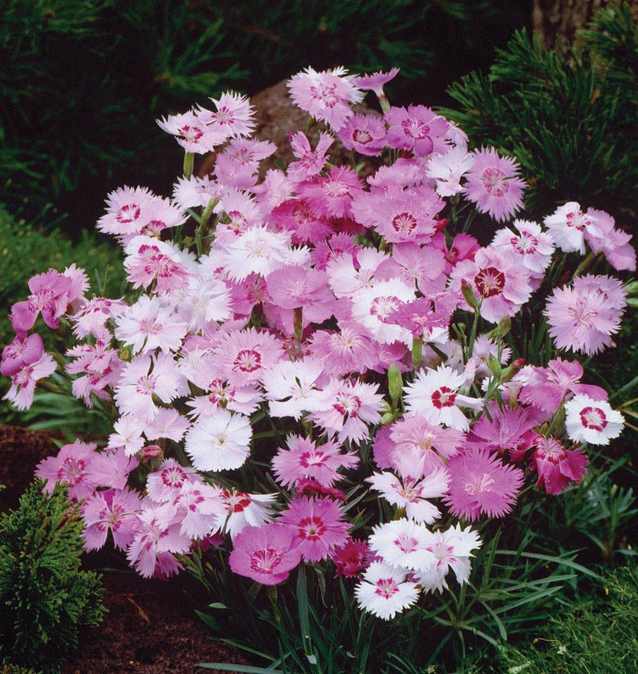 Sweetness Dianthus Drought Tolerant Perennials And Seeds