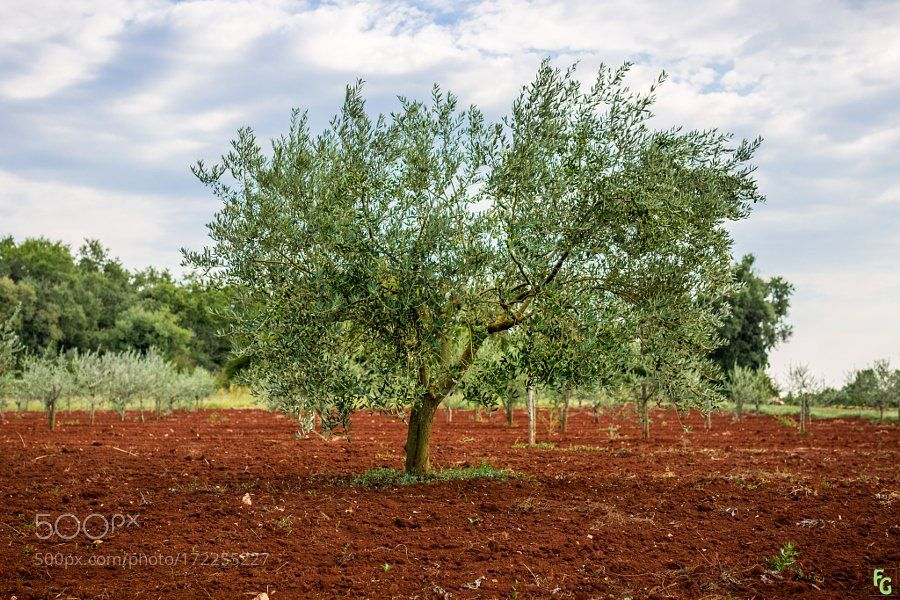 #photography Olive tree on RED Ground by Frank_Weil https://t.co/CPalMtx8FV #followme #photography