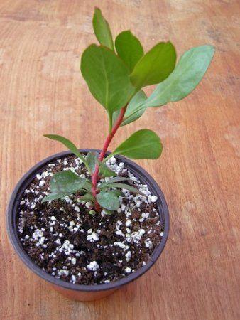 King Protea Plant Protea Cynaroides Amazon Co Uk Garden Outdoors Plants Protea Plant King Protea