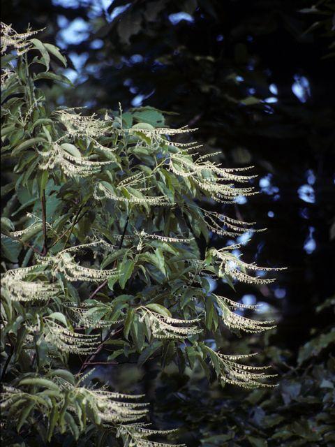 Oxydendrum arboreum Oxydendrum arboreum (L.) DC. Sourwood, Sorrel tree Ericaceae (Heath Family)