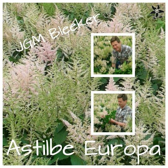 Astilbe Europa