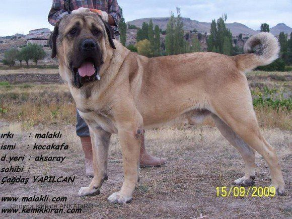 Breeds Of Turkey Anatolsky Pastevecky Pes Kangal Dog Turkey Dogs Turkish Dog