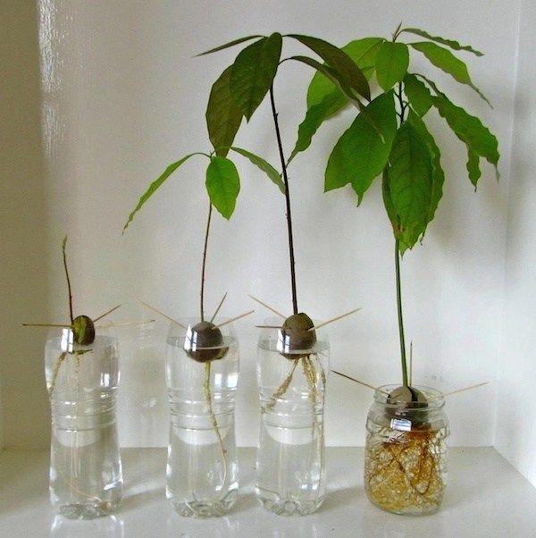 C mo plantar una semilla de palta o aguacate en agua - Plantar aguacate en casa ...