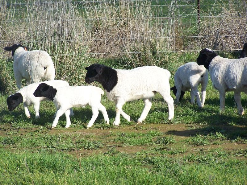The Dorper is a South African breed of domestic sheep