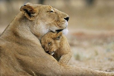mom and baby lion