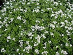 Asperula odorata joli couvre sol produisant de petites - Plante couvre sol qui pousse vite ...