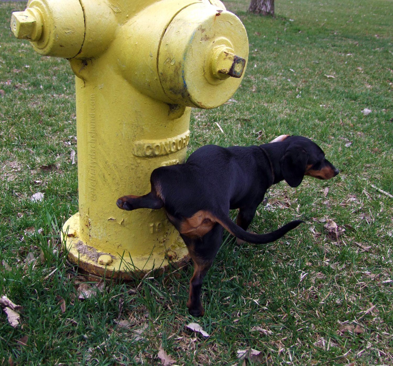 Dog Peeing On Fire Hydrant Dog Pee Fire Hydrant Hydrant