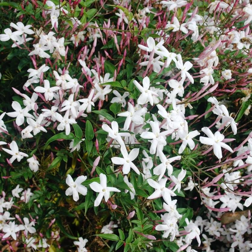 Fragant Small White Flowers With Pink Buds In Spring Summer Trainable Climbing Vine Quick Growing Trained Hedging Low Maintenance Container Planting