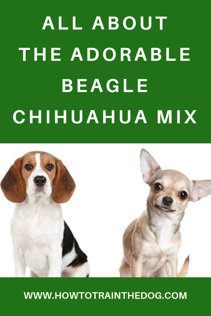 All About The Cheagle The Adorable Beagle Chihuahua Mix