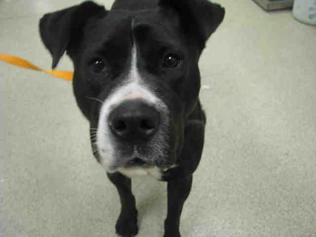 Bullboxer Pit Dog For Adoption In Riverside Ca Adn 409330 On