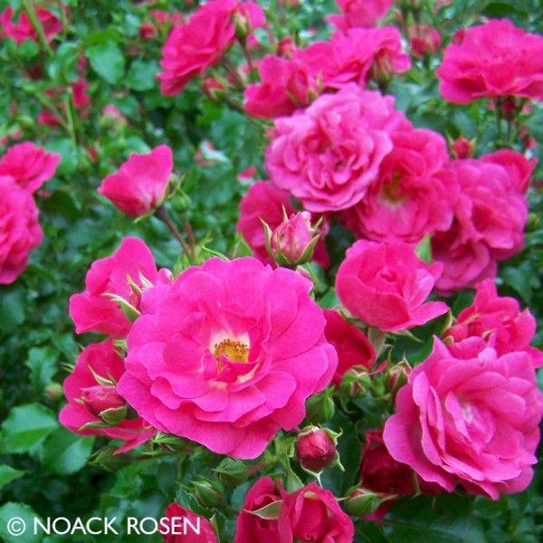Bodendeckerrose Heidetraum Rosen Pinterest Flowers Und Rose