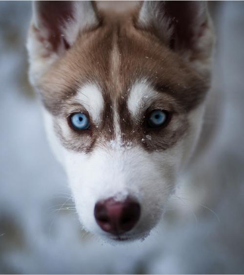 Blue Puppy Dawg Husky Dogs Animals Husky Puppy