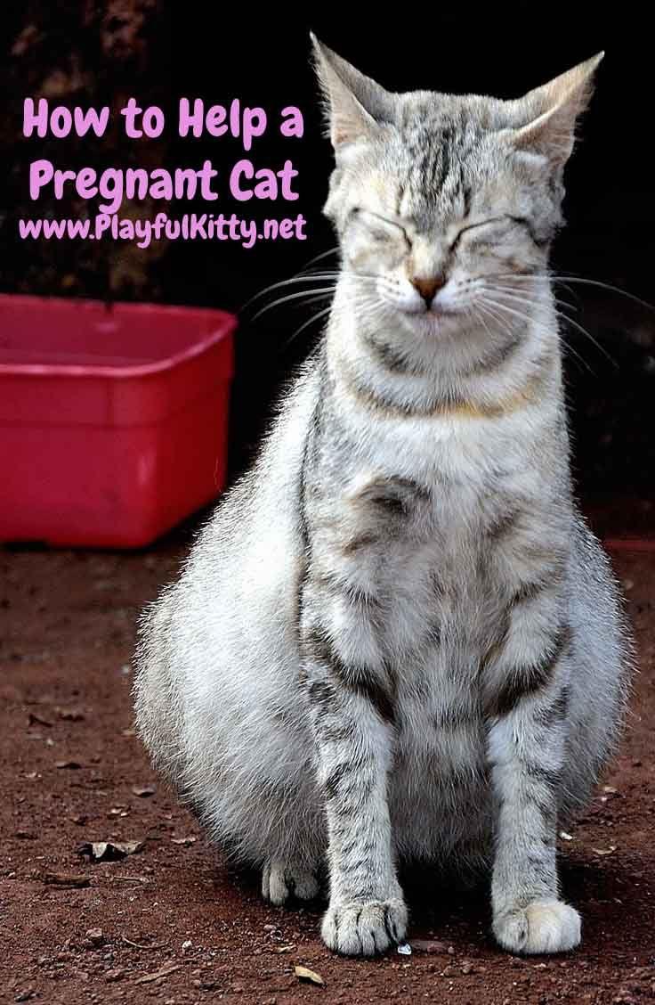 How to help a pregnant cat pregnant cat cat having