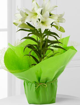 Easter hostess gifts easter lily in a gift box at ftd flower easter hostess gifts easter lily in a gift box at ftd flower gift shop negle Choice Image