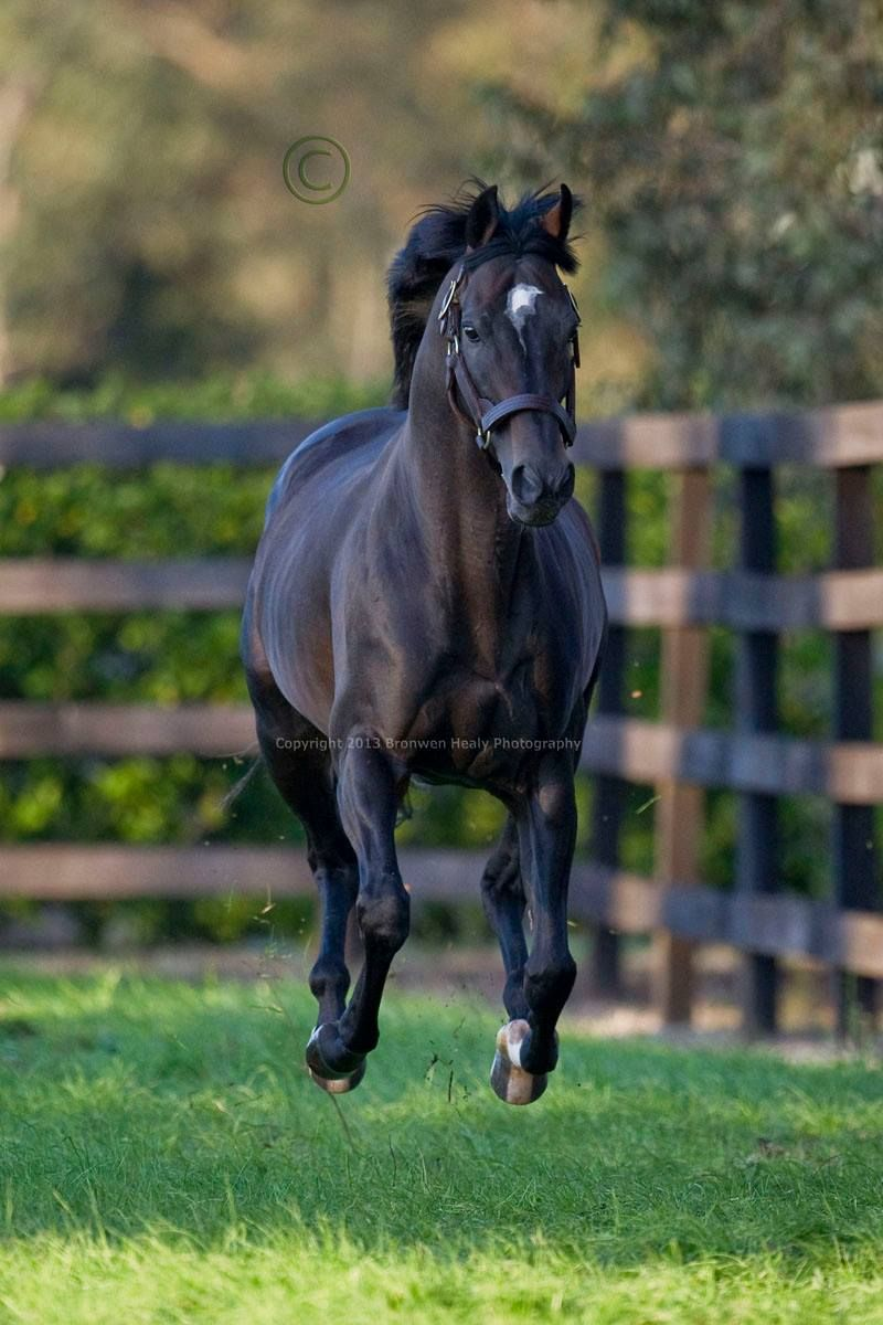 Vale High Chaparral Photographed At Coolmore Australia Sire Of Champions Dundeel And So You Think Beautiful Horses Horses Thoroughbred