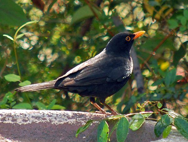 Common Blackbird Turdus Merula Australian Birds Birds