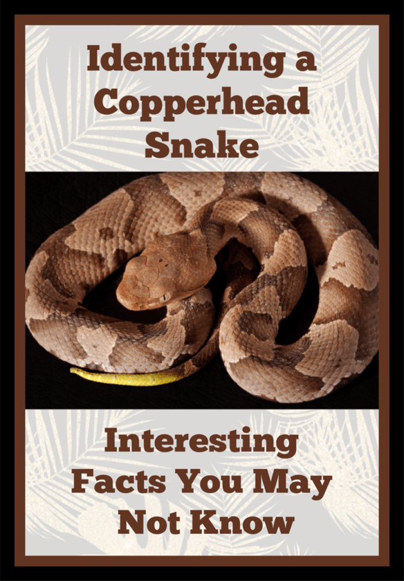 Identifying A Copperhead Snake And Facts You May Not Know My Four And More Snake Facts Poisonous Snakes Snake