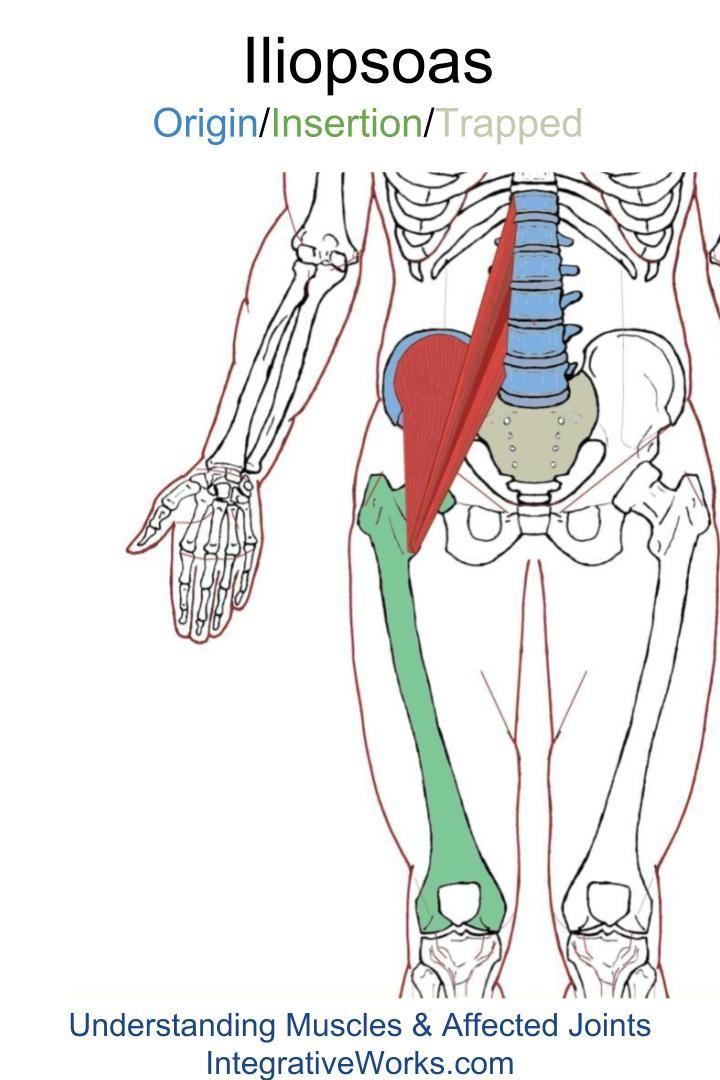 Iliopsoas – Functional Anatomy | Anatomy
