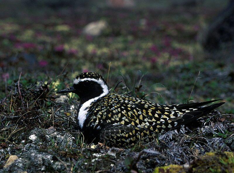 Pacific Golden Plover | Nature | Birds | Pinterest