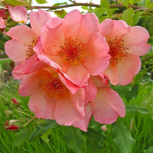 Morning Mist Rose Love Flowers Flowers Rose Varieties