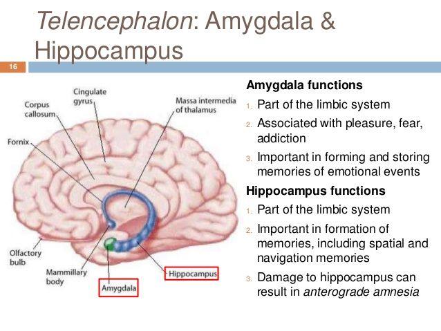 amygdala function Limbic system AnatomyLimbic System Function