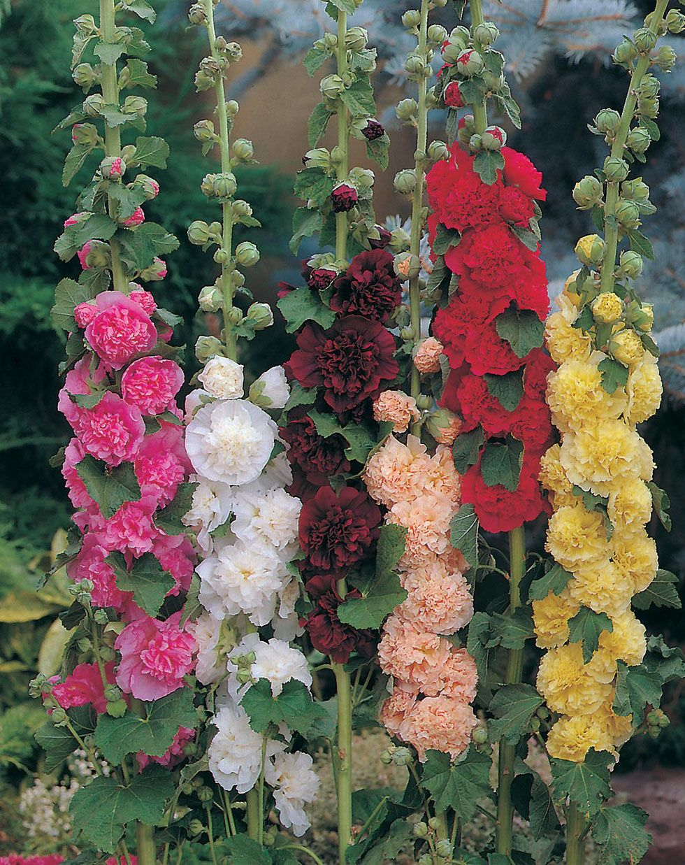 Hollyhock 25 Seeds Chater/'s Rose Pink
