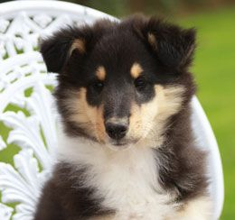 Rough Collie Puppies Older Stock Available On Collienet Com Top Uk Site Run By Breeders For Breeders