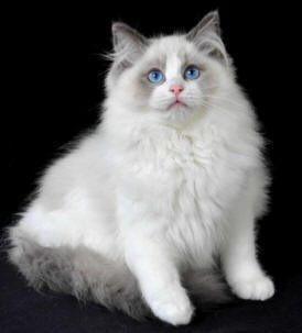 Rag doll cat.. want one soo bad!! Ragdoll cat breed