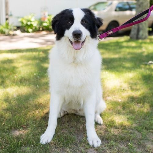 Glacey, Great Pyrenees (1 y/o)   Great pyrenees, Pyrenees ...