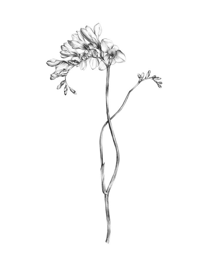 Freesia Illustration | Pencil And Graphite On Stonehenge 250gsm. | Other Flowers | Pinterest ...