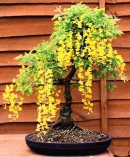 Goldenrain Tree Bonsai Seeds Laburnum Anagyroides Goldenchain Tree Seed Bidorbuy Co Za Garden Bonsai Tree Golden Rain Tree Bonsai Tree