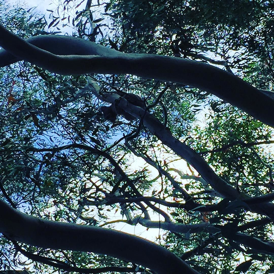 spot the koala. this is why I'm rubbish at seeing them!! #koala #towerhillreserve #warrnambool #khautumn16 by _katiehaden